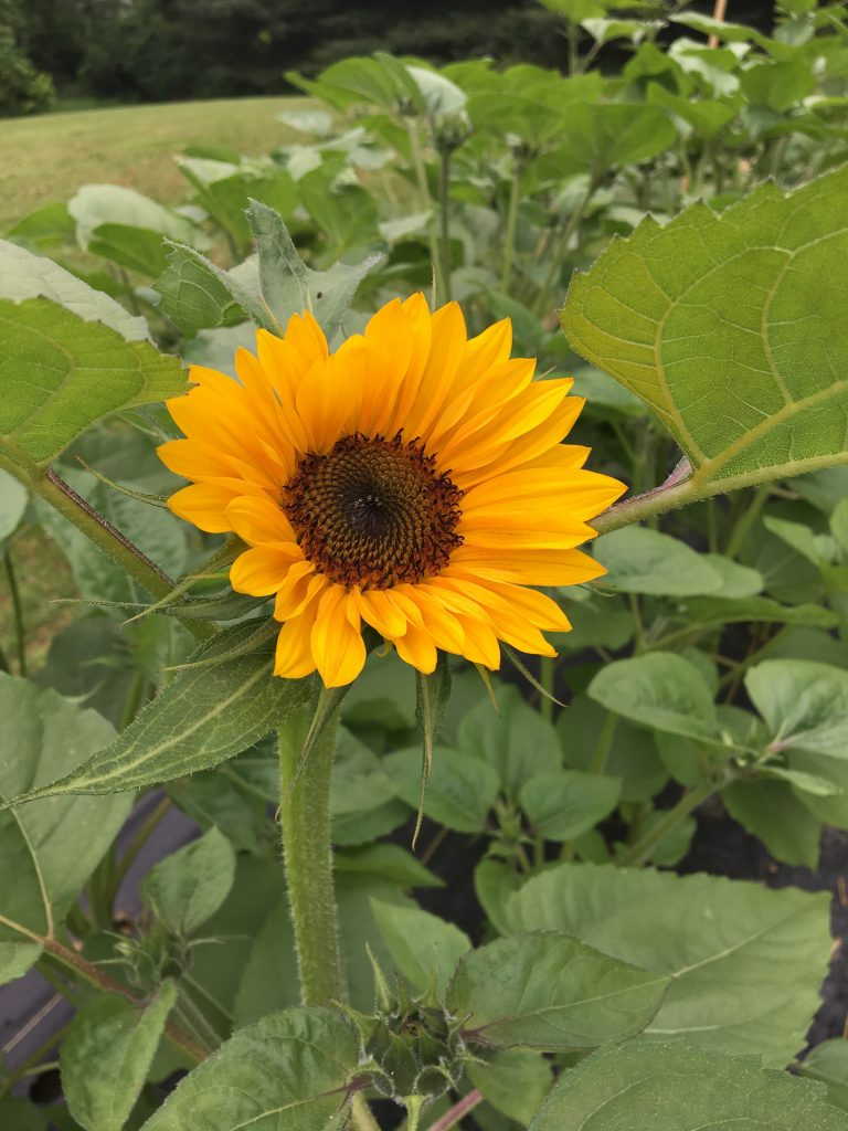 First Sunflower of 2019